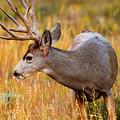 Mule Deer Buck In Rocky Mountain National Park by Steve Krull