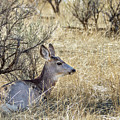 Mule Deer Doe by Michael Chatt
