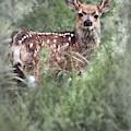 Mule Deer Fawn by Brad Allen Fine Art