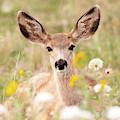 Mule Deer Fawn Lying In Wildflowers by Tony Hake