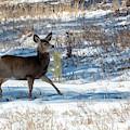 Mule Deer In The Winter by Steve Krull