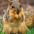 Munching Cute Fox Squirrel by Don Northup