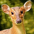 Muntjac Deer by Martyn Arnold