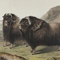 Musk Ox, 1848 by John James Audubon