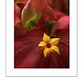 Mussaenda Philippica In Macro Poster by Mike Nellums