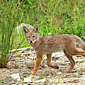 Mystic Coyote by Peggy Collins