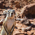 Namibian Ground Squirrel by Lyl Dil Creations