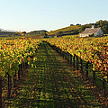 Napa Valley Vineyard In Autumn by Leezsnow