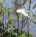 Nest Building Great Egret Over Blue Water by Carol Groenen