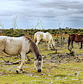 New Forest Ponies On The Heath by Jeff Townsend