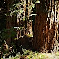 New Growth Redwoods by Richard Thomas
