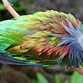 Nicobar Pigeon by Susan Rydberg