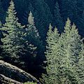 Noble Fir And Shadow by Robert Potts