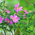 Nootka Rose Bush Rosa Nutkana by Sharon Talson