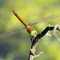 Norfolk Hawker Dragonfly by Scott Lyons