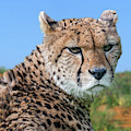 Northeast African Cheetah by Arterra Picture Library