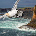 Northern Gannet Soaring In Stormy Weather by Arterra Picture Library