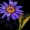 Nymphaea Aquarius Waterlily by Susan Candelario