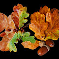 Oak Leaves And Acorns On Black by Gill Billington
