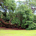 Oak Limbs On The Ground by Cynthia Guinn