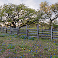 Oaks, Fence, And Bluebonnets - Willow City Loop Fredericksburg - Texas Hill Country by Silvio Ligutti