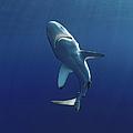 Oceanic Blacktip Shark by Jeff Rotman