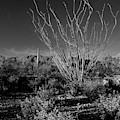Ocotillo Black And White by Chance Kafka