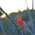 Ocotillo Bloom by Chance Kafka