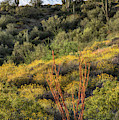 Ocotillo Cactus Spring Blooms In Arizona by Dave Dilli