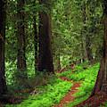 Old Growth Cedars by Leland D Howard