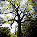 Old Oak Tree by Doc Braham