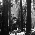 Olympic National Park Showing Rain Fores by Loomis Dean