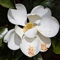 One Large Magnolia by Carol Groenen