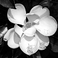 One Large Magnolia In Black And White by Carol Groenen