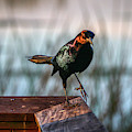 One Leg Up Grackle by Tom Claud