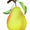 One Yellow Juicy Pear by Nikki Vig