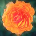Orange Blossom by Chocolate Pudding