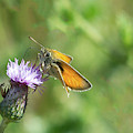Orange Butterfly Feeding by Scott Lyons