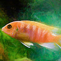 Orange Cichlid Chalk Smudge by Don Northup