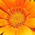 Orange Flower by Angelika GAIGL