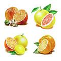 Orange Grapefruit Lemon Watercolor Fruit Illustration by Irina Sztukowski