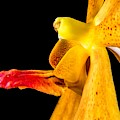 Orange Orchid On Black 2 by Art Shack