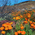 Orange Poppies In The Spring Time In Central Arizona Usa by Dave Dilli
