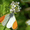 Orange Tip Butterfly by Scott Lyons