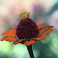 Orange Zinnia  by Trina Ansel