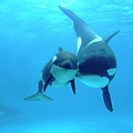 Orca Orcinus Orca Mother And Newborn by Hiroya Minakuchi/ Minden Pictures