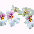 Orchid Miltoniopsis Florentine by Susan Savad