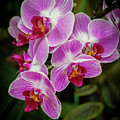 Orchids In The Pink by Sabrina L Ryan