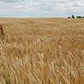 Organic Wheat Farm by Dylan Punke