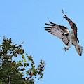 Osprey Landing 2 by Carol Groenen